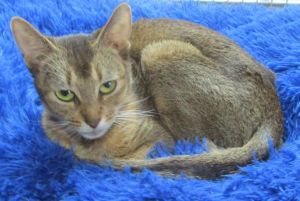 SHEBA (Registered w/papers pure-bred Abyssinian)