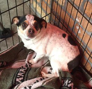 Spot Terrier Dog