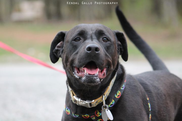 Quin, an adopted Black Labrador Retriever & Pit Bull Terrier Mix in Saranac Lake, NY