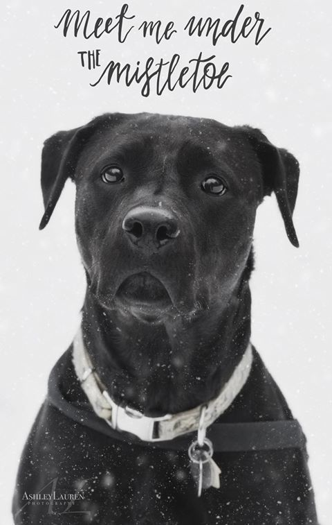 Quin, an adoptable Black Labrador Retriever & Pit Bull Terrier Mix in Saranac Lake, NY