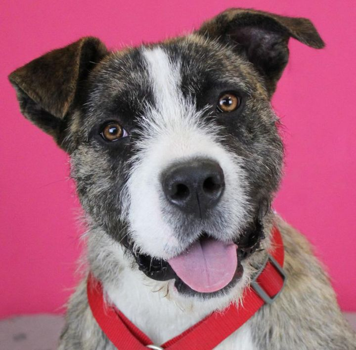 Penny Lane: Adopted!, an adopted Wirehaired Terrier Mix in Kansas City, KS