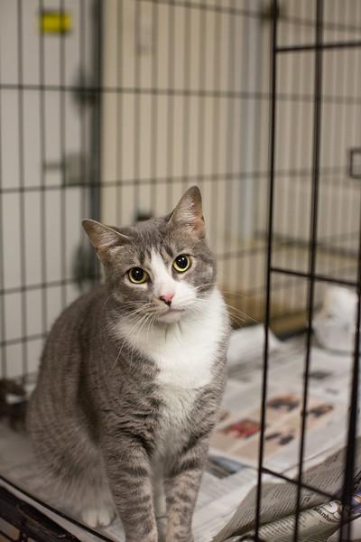 Kismet, an adoptable Tabby in Woodmere, NY