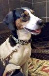 Beagle Dog: Leggs