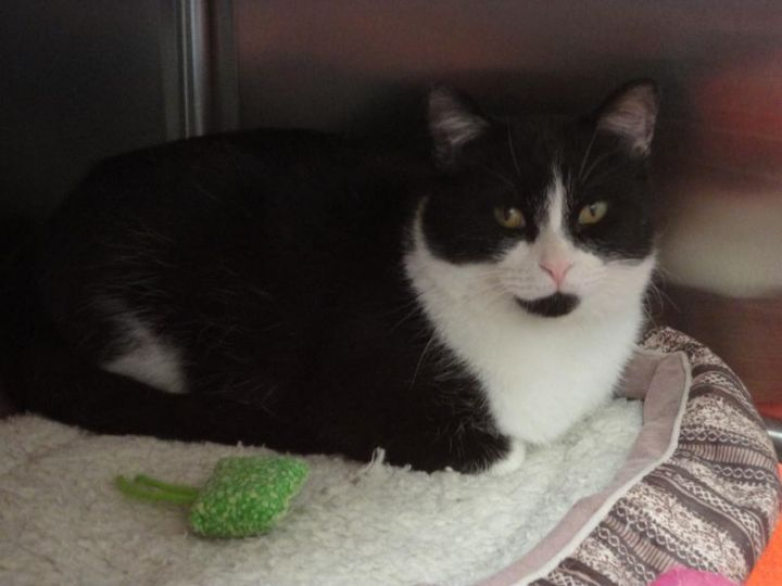 LUCKY, an adoptable Domestic Short Hair in Dixon, IL