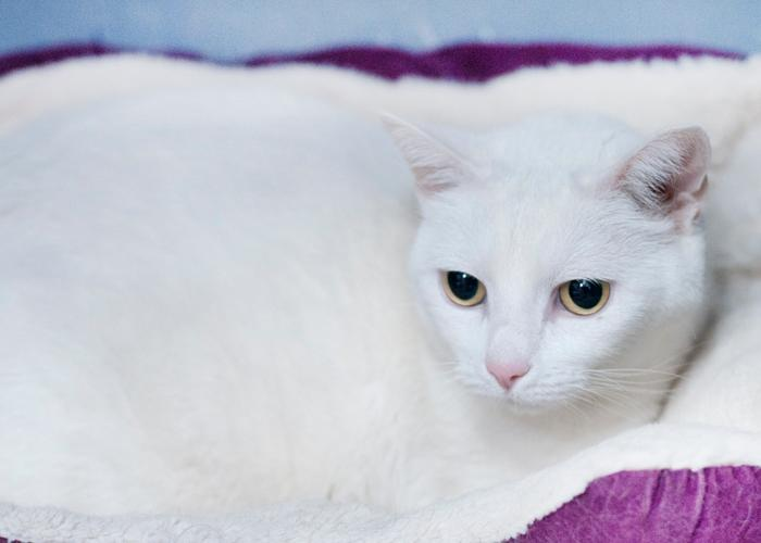 Little Bit, an adopted Domestic Short Hair in Fort Smith, NT