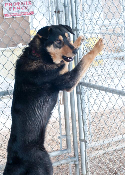Cola, an adopted Rottweiler & Husky Mix in Fort Smith, NT