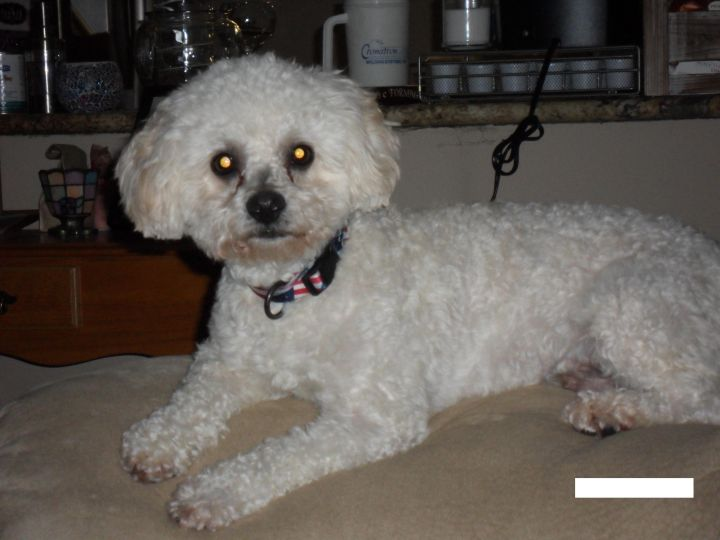 ADOPTED! Cuddles, an adopted Bichon Frise in Cinnaminson, NJ