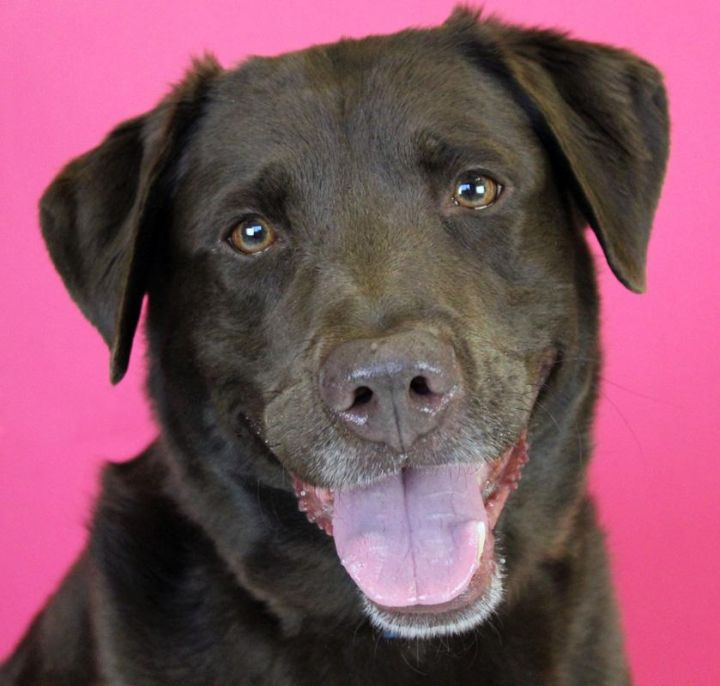 Romy: Adopted!, an adopted Chocolate Labrador Retriever in Kansas City, KS