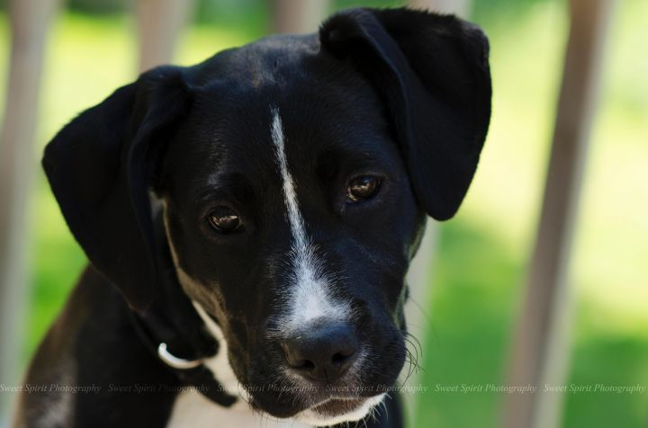 Scarlet, an adopted American Staffordshire Terrier & Pit Bull Terrier Mix in Saint Paul, MN