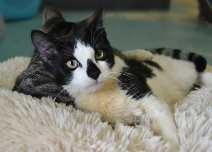 Bill, an adopted Domestic Short Hair in Annapolis, MD