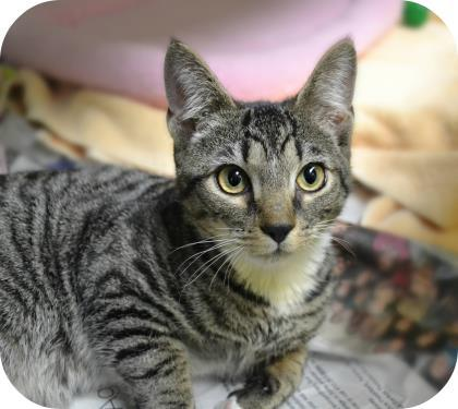 Bell, an adopted Domestic Short Hair in Annapolis, MD