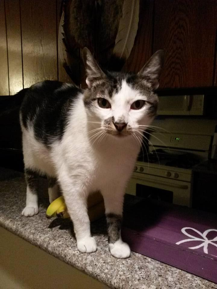 Dash, an adoptable Domestic Short Hair in Beverly Hills, CA