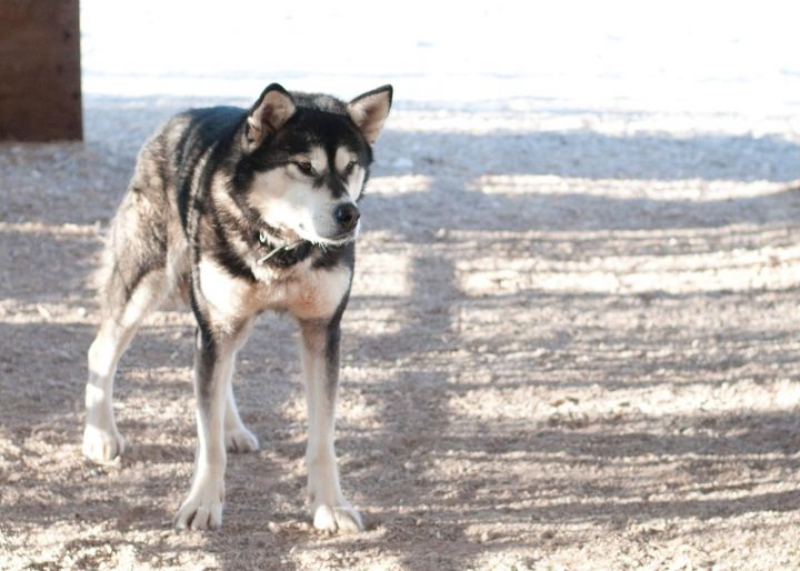 Meeko, an adopted Alaskan Malamute Mix in Fort Smith, NT