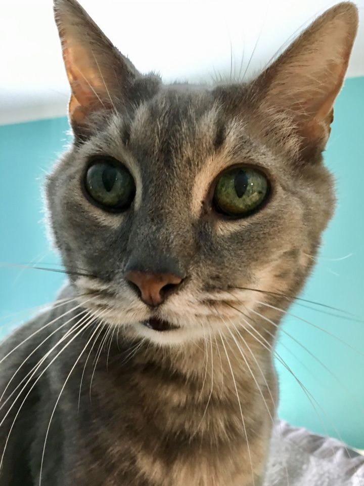 Spike, an adoptable Domestic Short Hair in Shoreline, WA