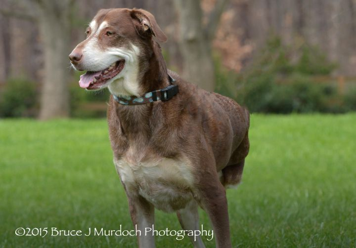 Biscuit, an adopted Chesapeake Bay Retriever & German Shepherd Dog Mix in Wake Forest, NC