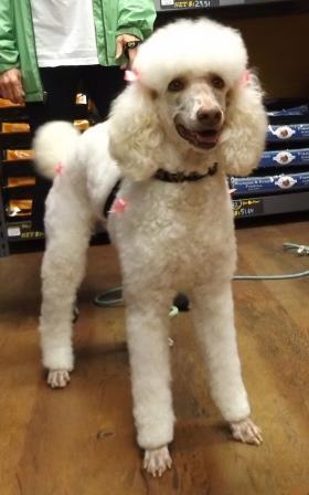 Lulu, an adopted Standard Poodle in Memphis, TN