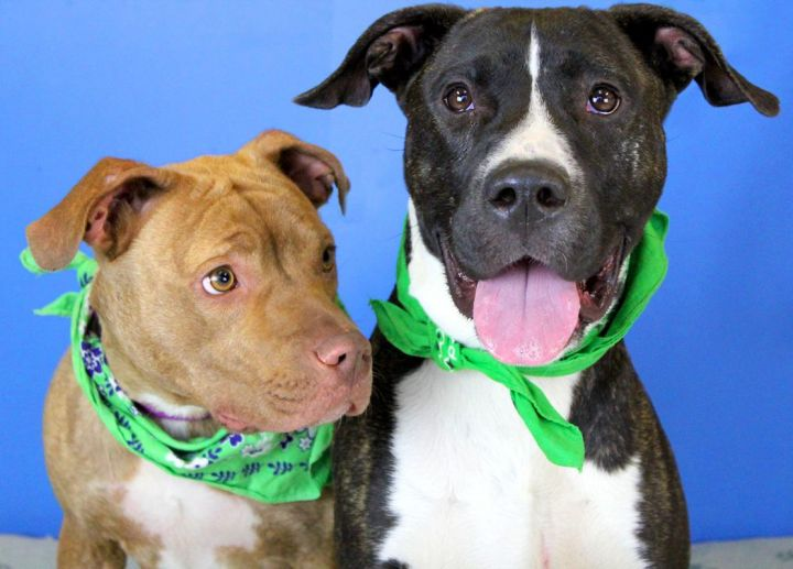 Pibble: Adopted! 2