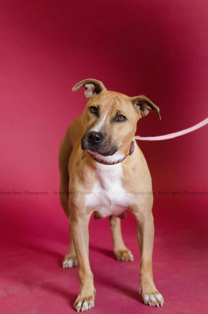 Ellie, an adopted American Staffordshire Terrier & Pit Bull Terrier Mix in Saint Paul, MN