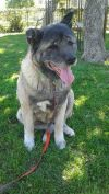 Akita Dog: Tilly