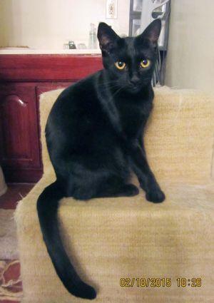 Tyler Domestic Short Hair Cat