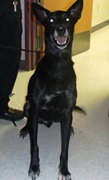 Andy, an adopted Labrador Retriever Mix in Gillette, WY