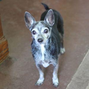 Mini Chihuahua Dog