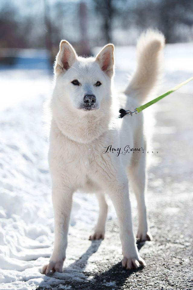 Kimo, an adopted Husky in Laval, QC