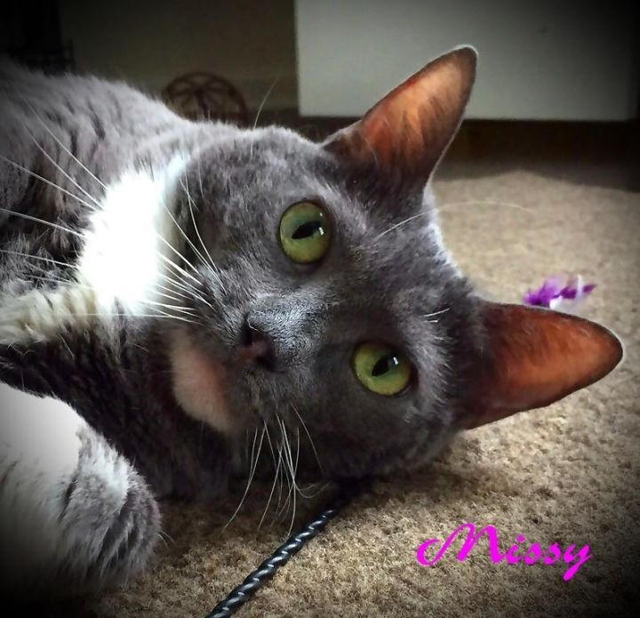 Missy, an adoptable Domestic Short Hair in Warminster, PA