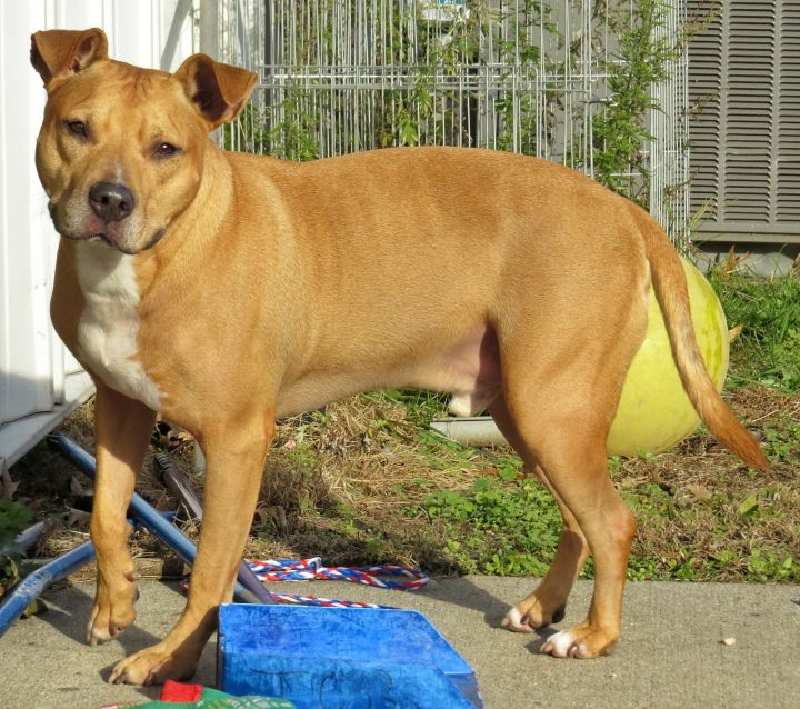 19-512 Buck, an adoptable Pit Bull Terrier in Amityville, NY