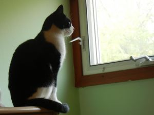 Cat for adoption - Barn Cats!!!, a Domestic Short Hair in ...