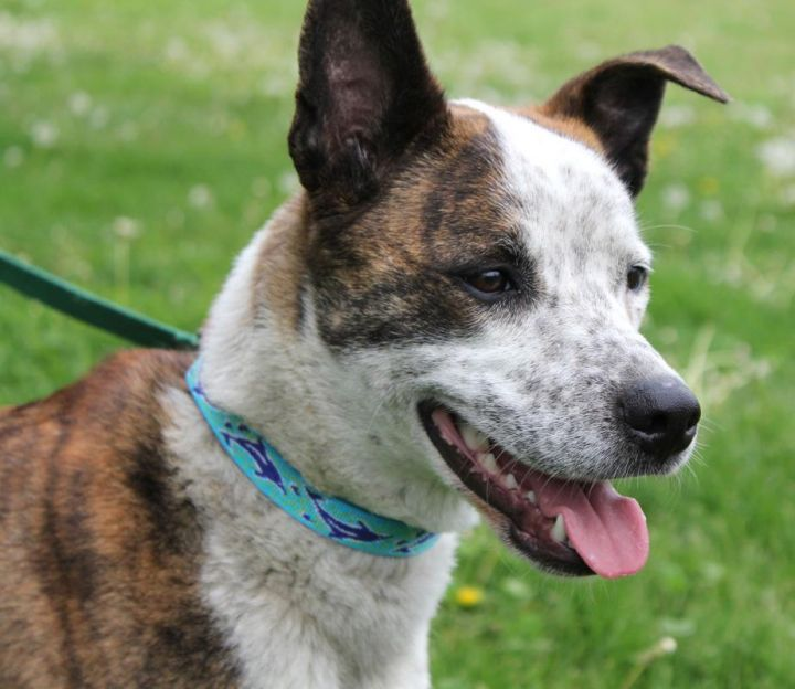 Breann: Adopted!, an adopted Australian Cattle Dog / Blue Heeler Mix in Kansas City, KS