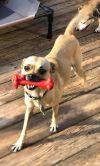Pug Dog: Baylor