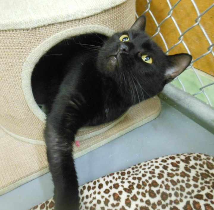 Dinky, an adopted Domestic Short Hair in Ridgely, MD
