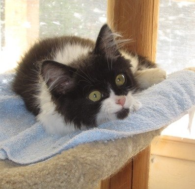 Briar, an adoptable Maine Coon Mix in San Jose, CA