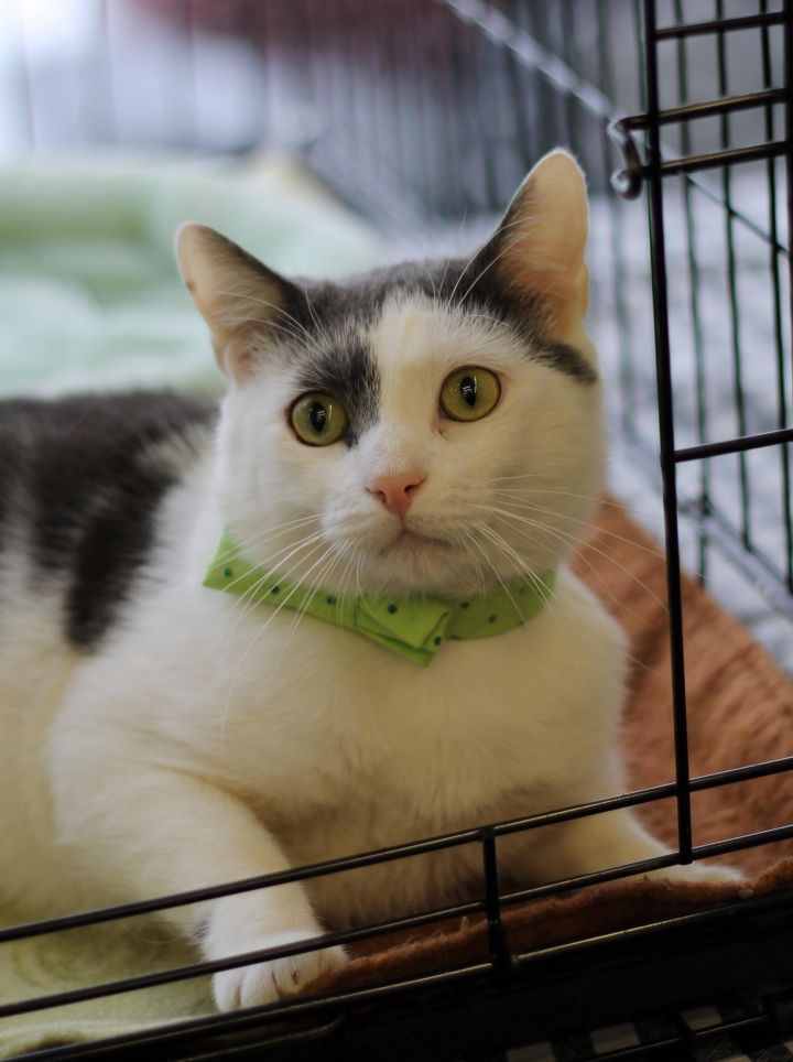 Gary, an adoptable Domestic Short Hair Mix in Middle Village, NY