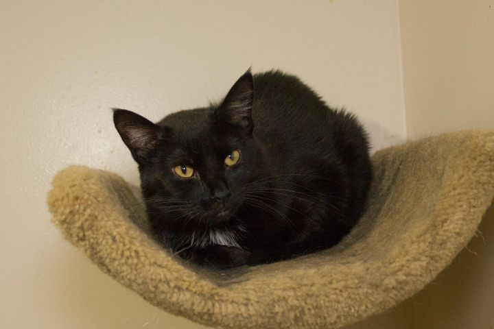Kahlua, an adoptable Domestic Short Hair in Chicago, IL