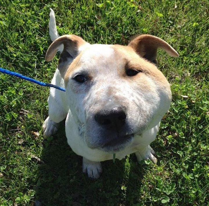 Merrick, an adopted Bull Terrier & Australian Cattle Dog / Blue Heeler Mix in Kansas City, KS
