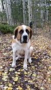 Saint Bernard / St. Bernard Dog: Katie