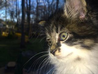 Penelope, an adopted Domestic Long Hair in Westwood, NJ
