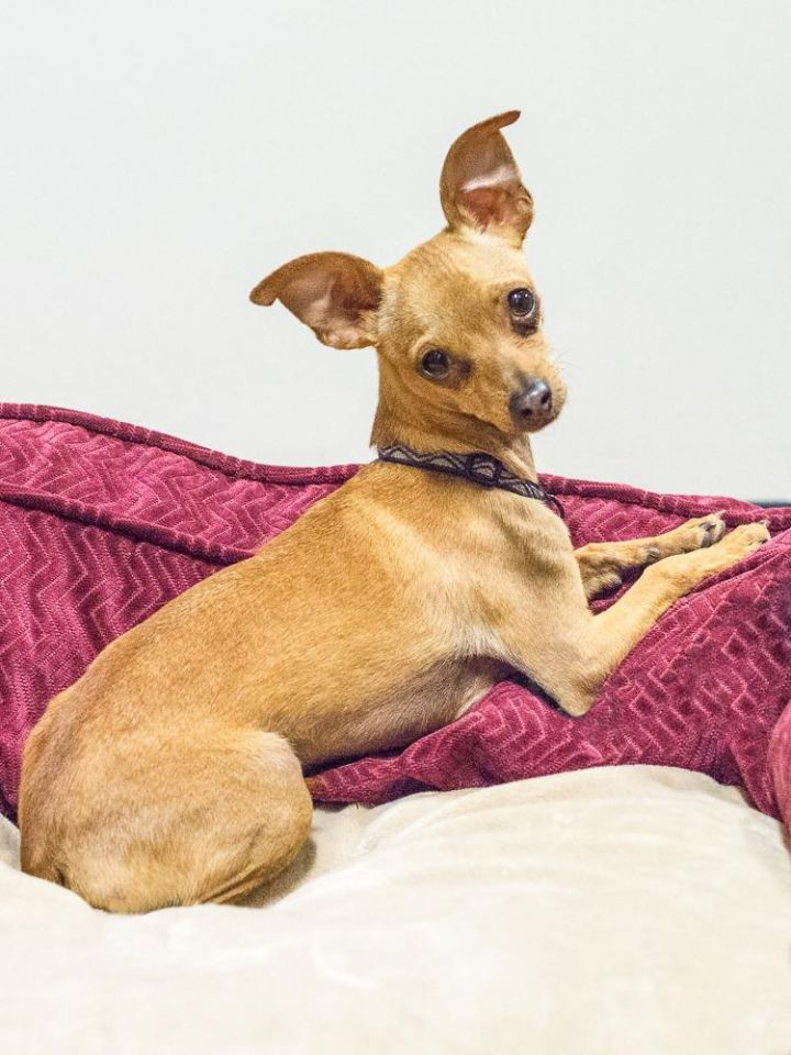 Paco, an adopted Chihuahua Mix in Chandler, AZ