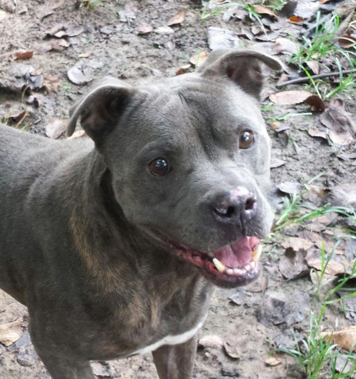JJ, an adopted Pit Bull Terrier in Hempstead, TX