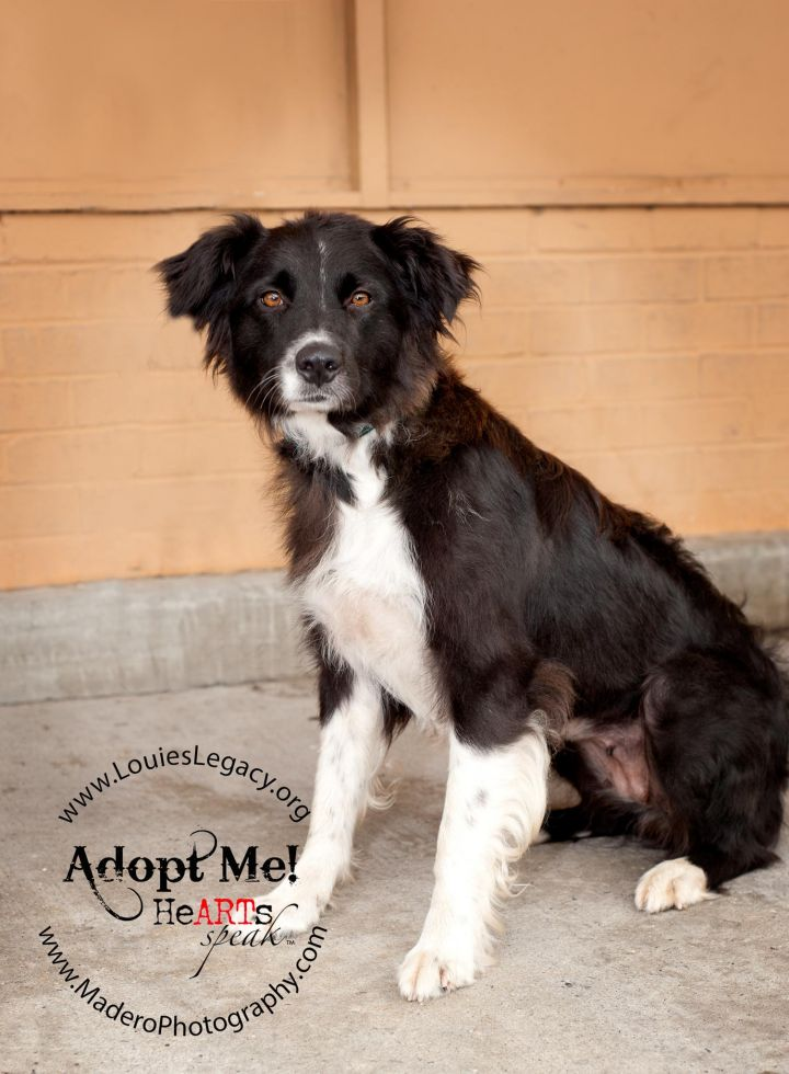 Pawla, an adopted Border Collie & Australian Shepherd Mix in Staten Island, NY