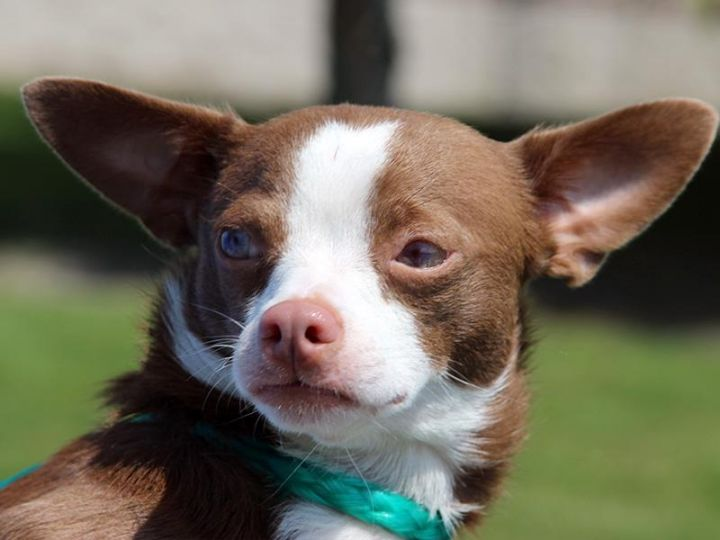 Angel, an adopted Chihuahua Mix in Jefferson, GA