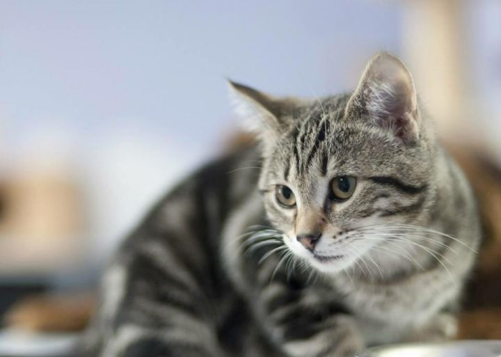 Kitten (ZIPLIC), an adopted American Shorthair in Fort Smith, NT