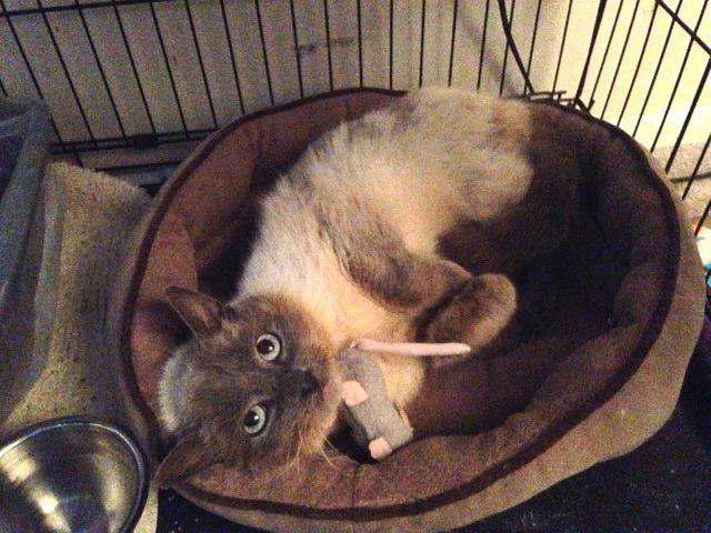 Chynna, an adopted Siamese Mix in Berryville, VA