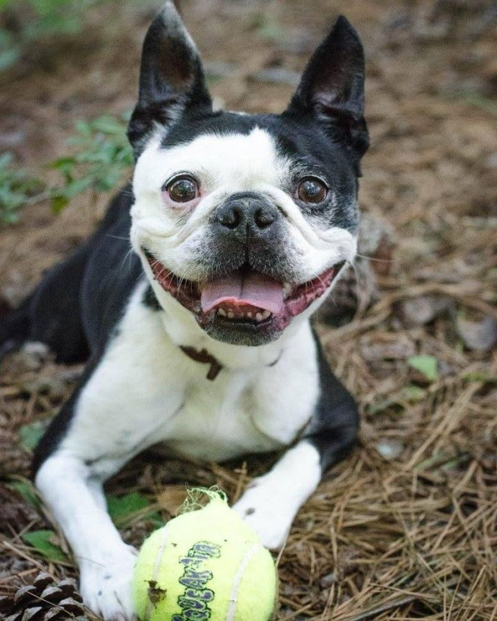 Mr Magoo, an adopted Boston Terrier in Charlotte, NC