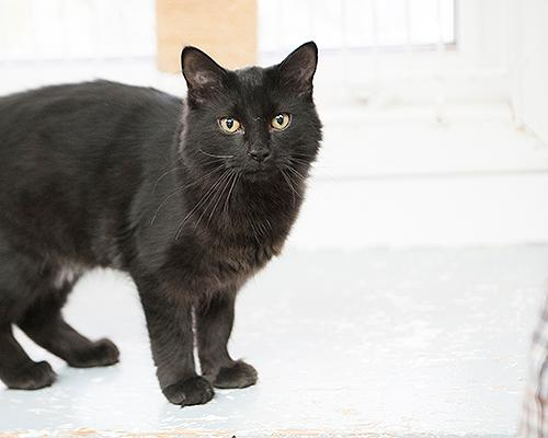 Seth, an adopted Domestic Long Hair Mix in Fort Smith, NT