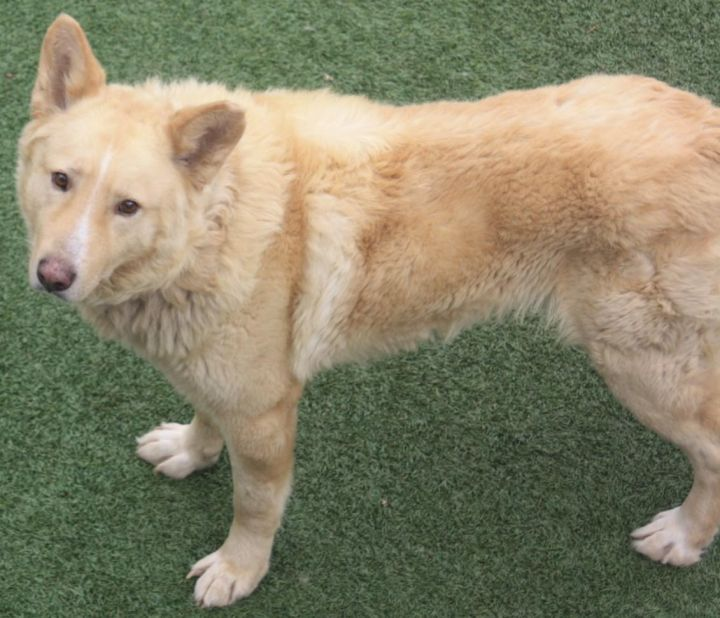 Dog For Adoption Rory A German Shepherd Dog Golden Retriever