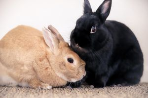 Chocolate  Peanut Butter Dwarf x bunnies small sweet and go together always
