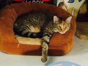 Gold Domestic Short Hair Cat